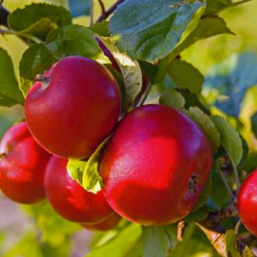 2015 års skörd ger svenska äpplen till midsommar!