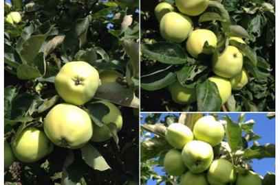 Äppelriket i Kivik levererar nu!