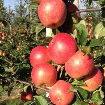 Svenska äpplen året runt med Äppelriket!
