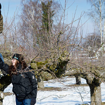 Vill du lära mer om hur du bäst beskär dina äppelträd?