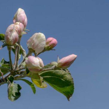 Äppelblomningens vackra högtid är nu!