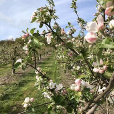 Äppelblom i Kivik!