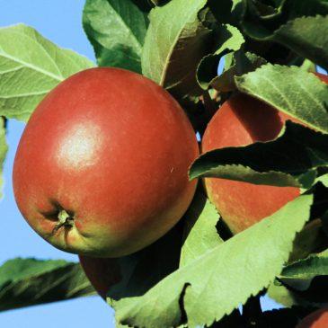 Varför Svenska äpplen smakar så bra!