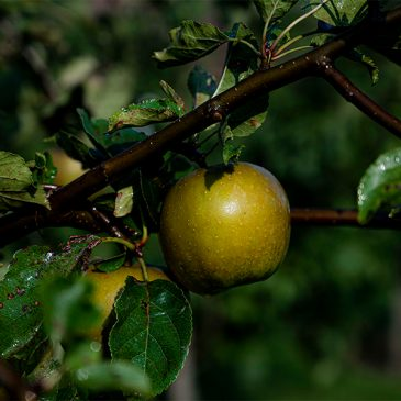 Köp äpplen från Björkvångs frukt på Havängsbodarna